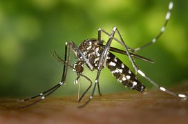 foto di zanzara