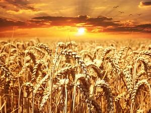 foto campo grano