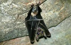 foto di un pipistrello